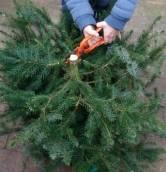 Deze week worden de kerstbomen opgehaald, geen leging GFT-containers